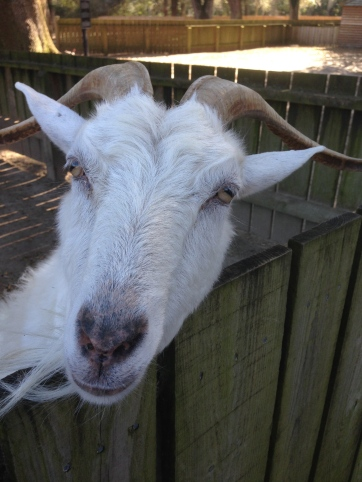 It's a goat